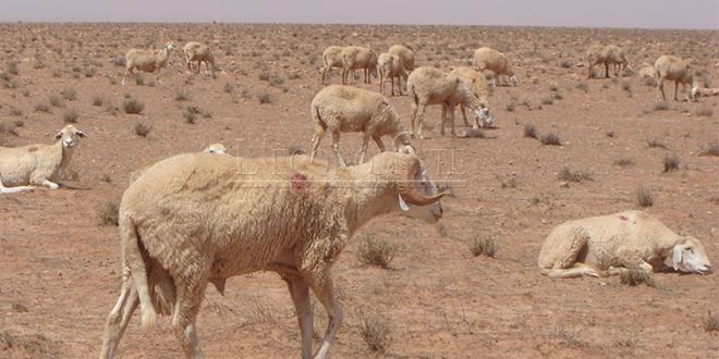 Sécheresse: 55 millions de DH pour la protection du bétail