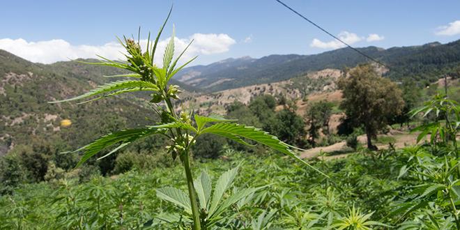 Santé : Les effets thérapeutiques du cannabis local en étude