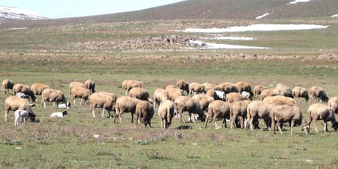 Casa-Settat: La distribution d'orge aux éleveurs s'organise