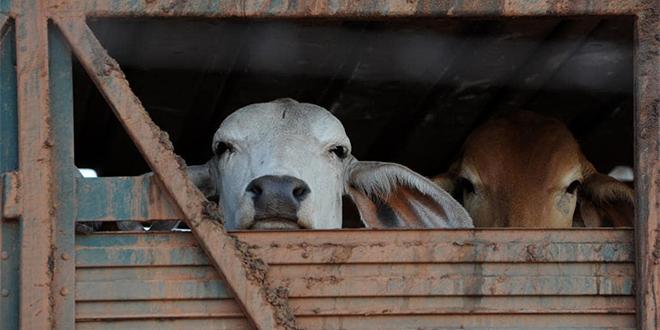 Irlande : Condamné pour avoir exporté des bovins malades au Maroc