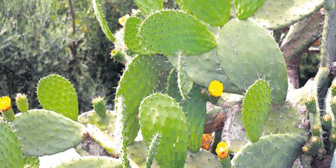 Guelmim: Le cactus rapporte