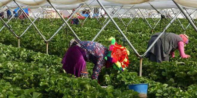 Huelva: 12.000 saisonnières marocaines pour la campagne agricole 2020/2021
