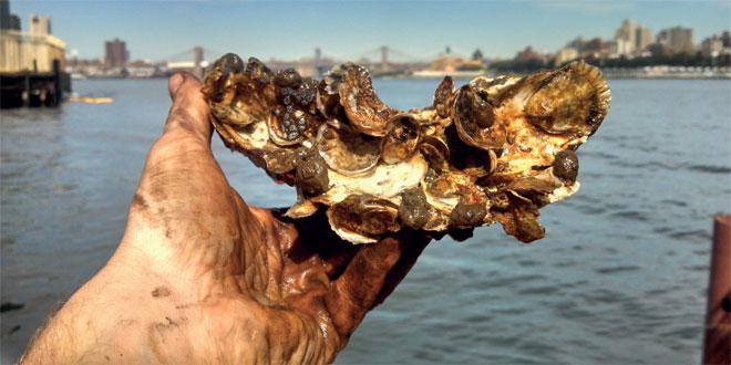 Les huîtres nettoient le port de New York