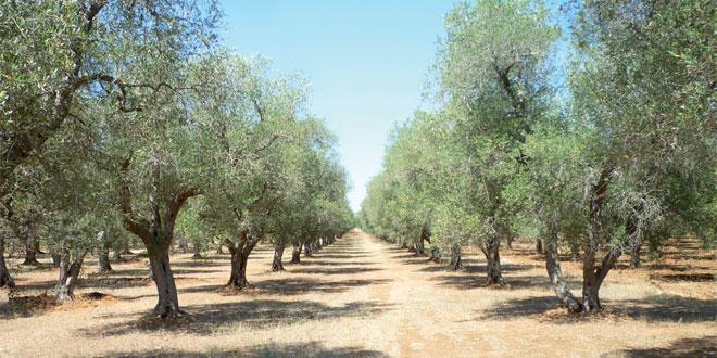 Tétouan: L'Agriculture déploie son plan pour l'olivier
