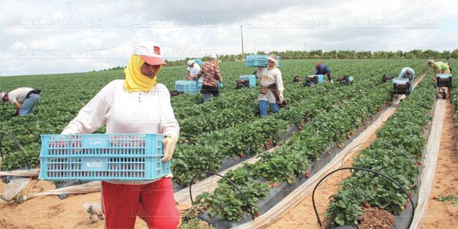 Huelva: 12.700 saisonnières marocaines attendues pour la cueillette des fruits rouges