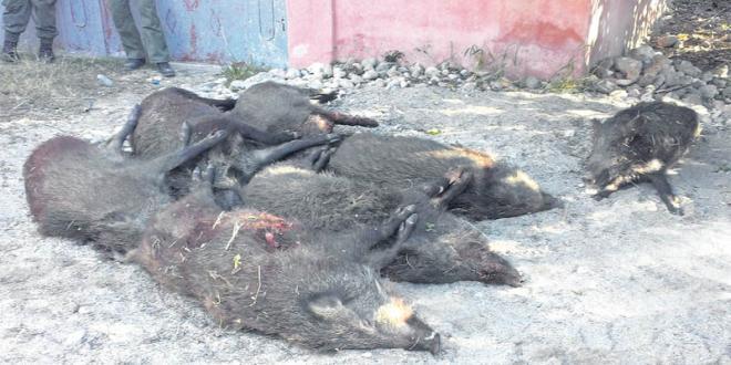Le Souss-Massa régule la population de sangliers