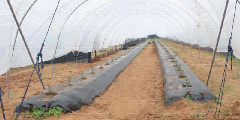 Fruits rouges: Faudra-t-il planter en novembre?