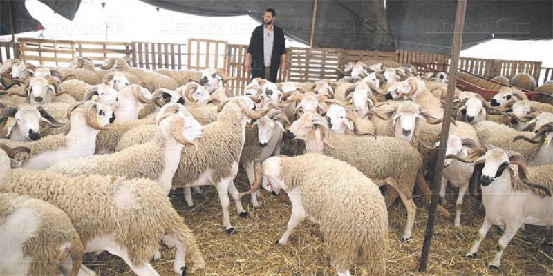 Aïd Al Adha: L'offre pléthorique, les prix abordables