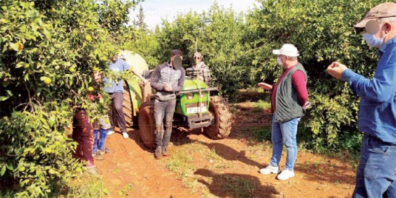 Berkane: Une production exceptionnelle d'agrumes