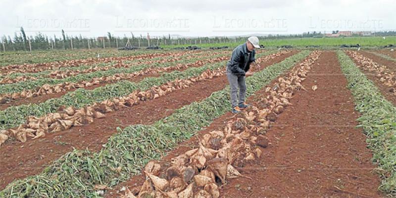 Oriental: La production betteravière en hausse de 14%
