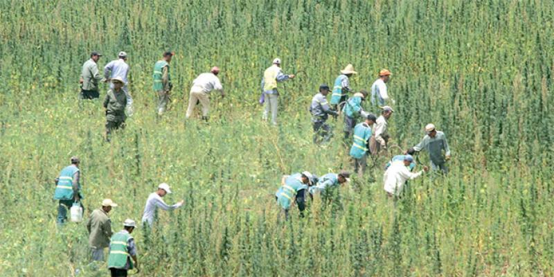 Légalisation du cannabis: Le PJD seul contre tous