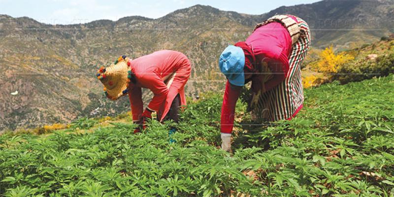 Cannabis: La légalisation en plénière chez les députés