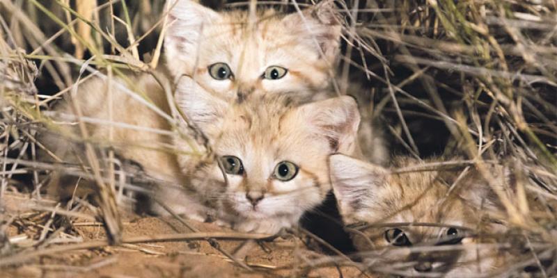 Zoo de Rabat: Des chats des sables