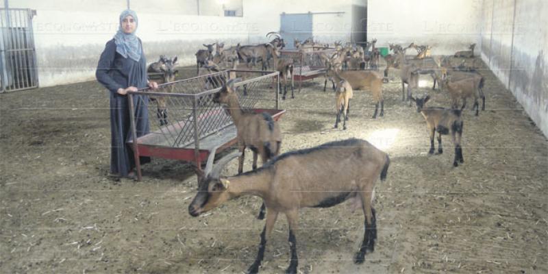 Des gardiennes de chèvres alpines à Meskala
