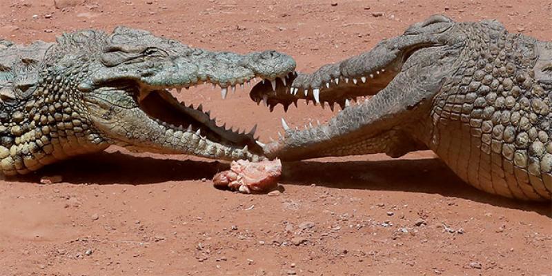 Dossier Agadir - Un jardin exotique avec 300... crocodiles et reptiles