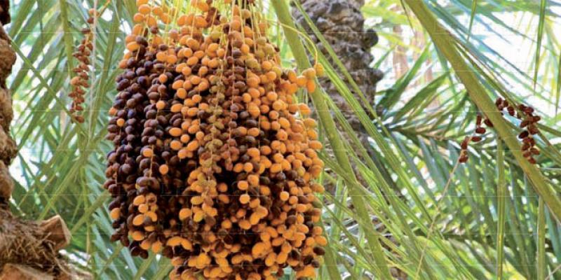 Filière des dattes: La production décolle en attendant la valorisation