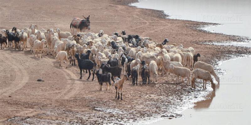 Oriental: Des bassins de rétention pour sauver le cheptel