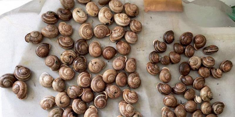 Essaouira: Kokiaj Mogador, la start-up qui mise sur la bave d'escargot