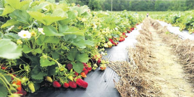 La culture des fruits rouges sur le fil du rasoir