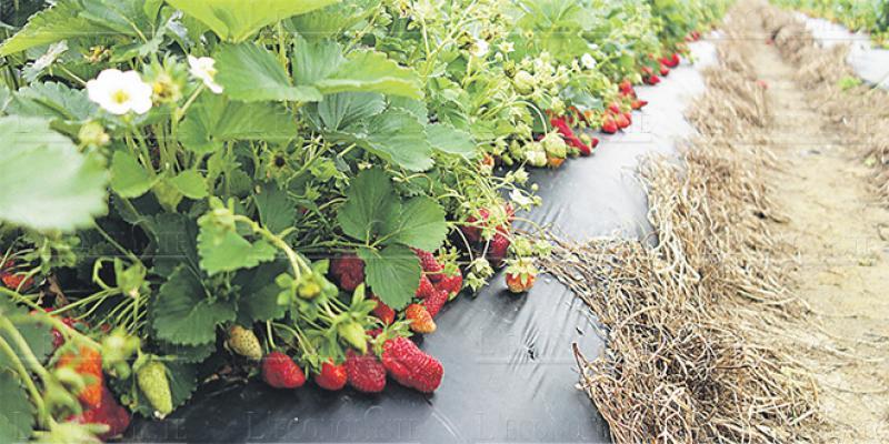 Agriculture: Fruits rouges, les stars du Nord