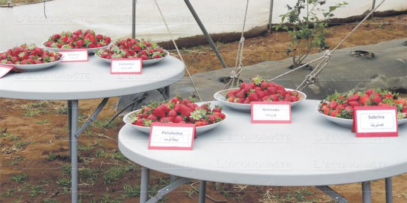 Fruits rouges: 3 fois plus de plantations en 10 ans
