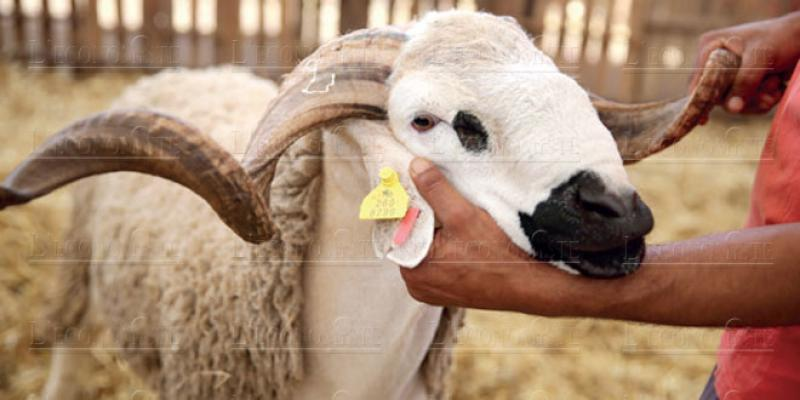 Moutons: L'Onssa promet d'être intraitable
