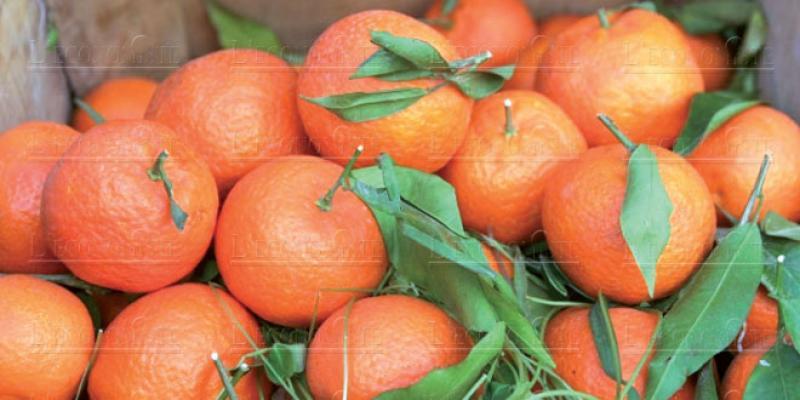 Pourquoi le Maroc «jette» ses oranges!