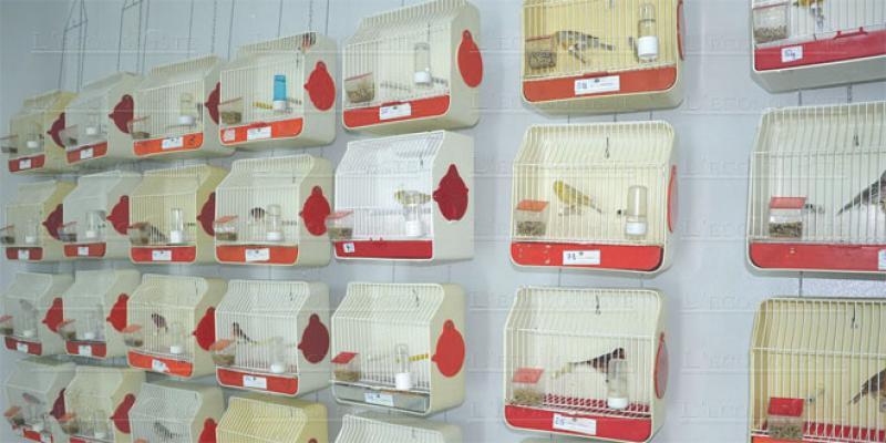 Ornithologie: Un concours pour sauver le canari
