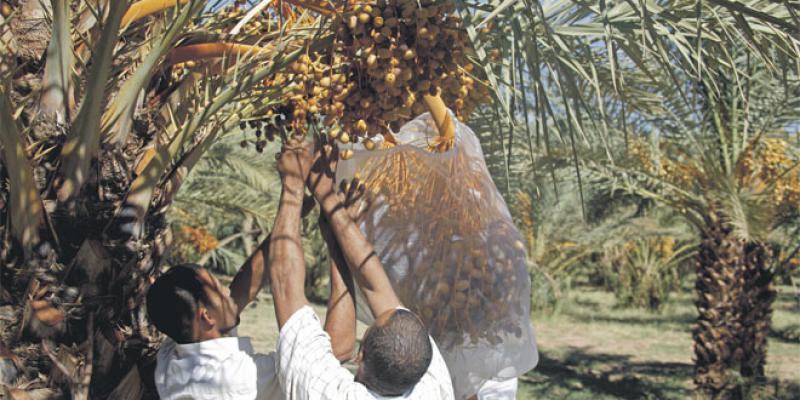 Palmier dattier: Pourquoi le modèle GIE trébuche encore
