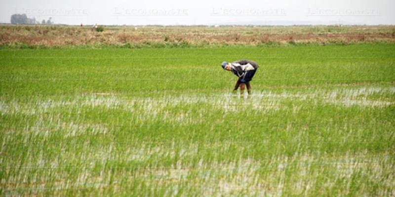 Sale temps pour la riziculture