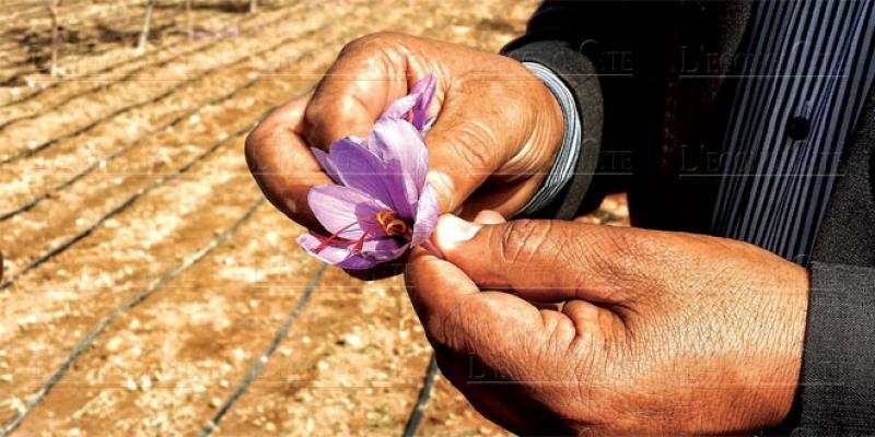 Taznakht: Une 1re pépinière de production de bulbes de safran