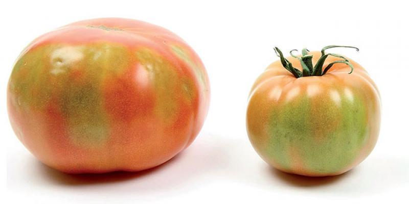 La tomate marocaine fait rugir la Russie!