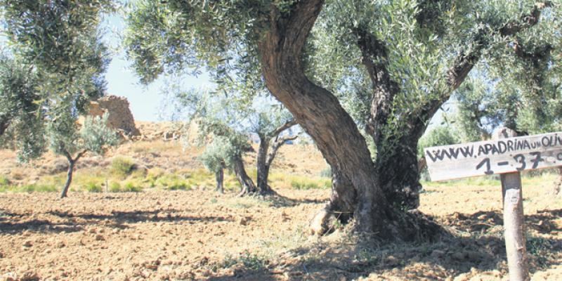 Adopter un olivier pour sauver tout un village