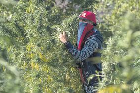 cannabis_003.jpg