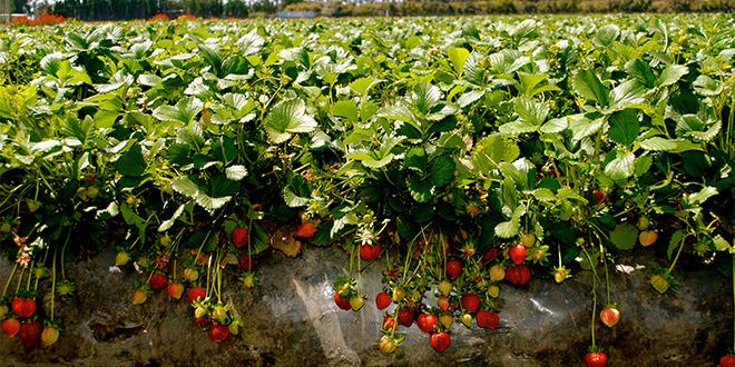 fraise_serre_25072018wm_1.jpg