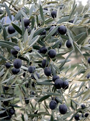 olive_noire_008.jpg
