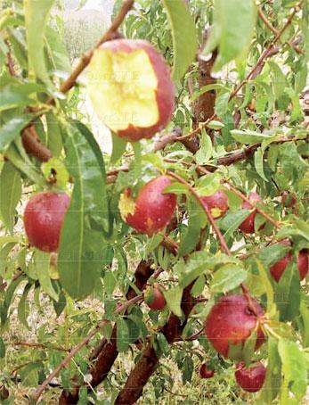 pommes-degats-078.jpg