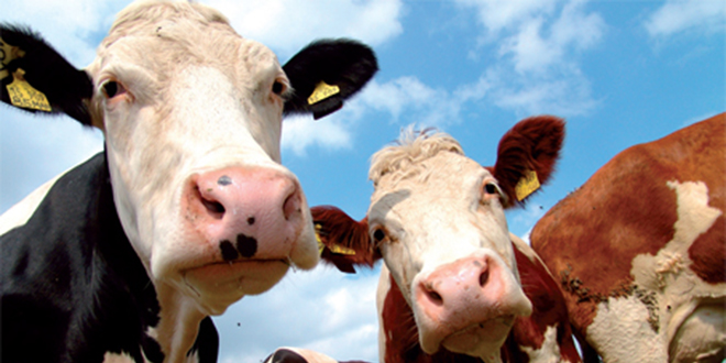 Des vaches qui produisent plus de lait et moins de gaz